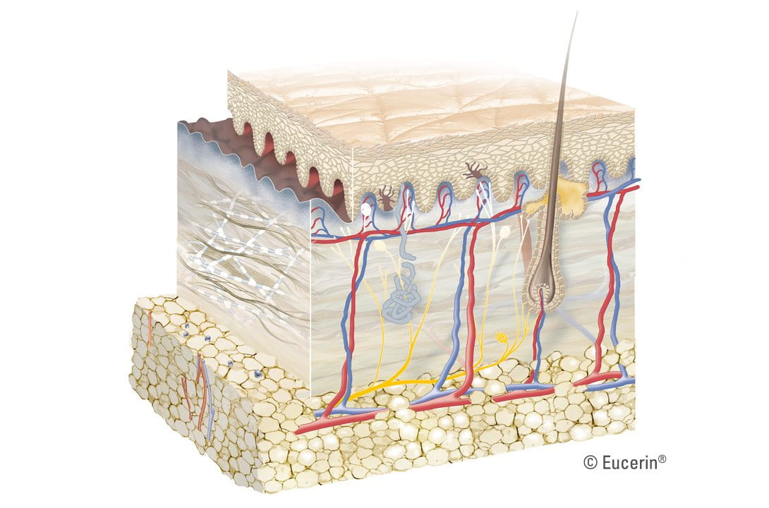 Eucerin: Acerca de la piel | Estructura y función de la piel: Una ...