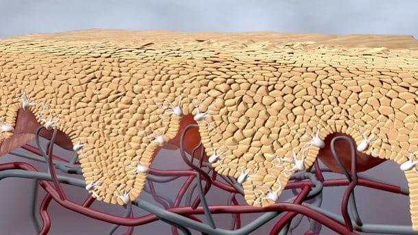 Presentación preliminar en vídeo mostrando las capas de piel